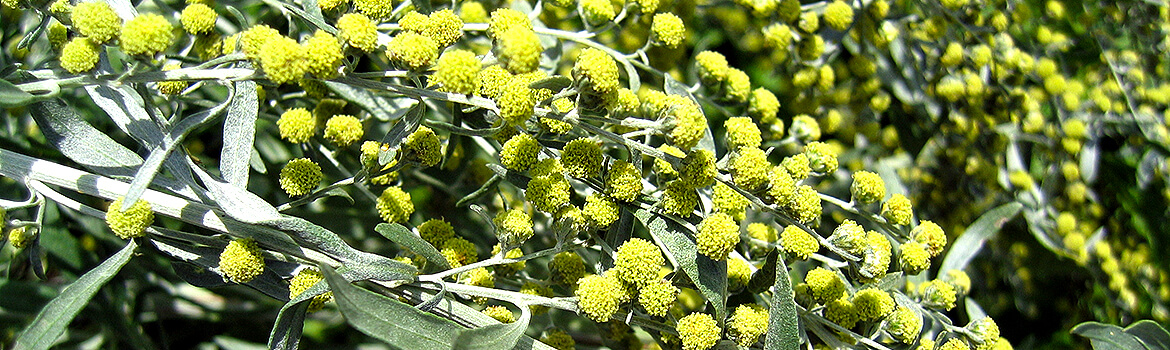 How to use wormwood to make absinth? Learn in our absinthe classes